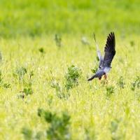 FALCO CUCULO  con preda (Falco vespertinus)